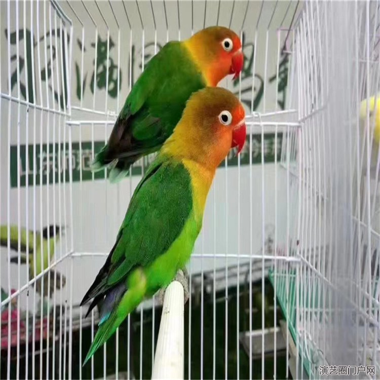 百鸟集结孔雀精灵百鸟展出租小鸟园展出租租赁